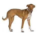 Podenco Andalou dog, 2 years old, standing in front of white background
