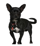 Chihuahua, 3 years old, standing in front of white background