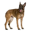 Belgian Shepherd dog, 9 years old, standing in front of white background