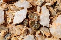 Conophytum sp., Springbok, Namaqualand, Südafrika / Conophytum sp. Springbok, Namaqualand, South Africa