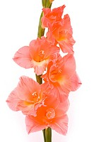 Beautiful Gladiolus on white background