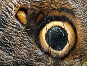 Owl butterfly, Caligo eurilochus