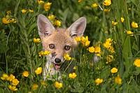 Fox cub Vulpes vulpes venturing out of den in farmland