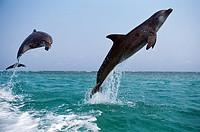 Bottlenose Dolphin, tursiops truncatus, Adults Leaping, Honduras