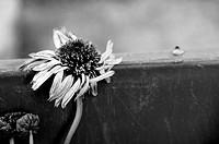 Faded flower
