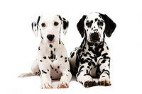 Dalmatians lying side by side