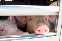 Pigs Transport Europe