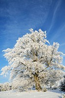 Germany, Baden_Württemberg, Swabian Alps, View of snow covered landscape and Beech tree