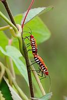 Firebug mating, Borneo.