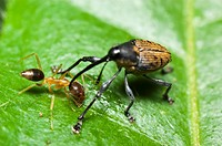 Long Horn Weevil from Skudup, Kuching, Sarawak, Malaysia