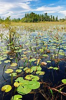 Lily pads of the Okefenokee Swamp, Okefenokee National Wildlife Refuge, Georgia, USA