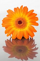 Close up of an orange gerbera on a mirror