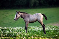 Horse foal Equus caballus in meadow with wildflowers, Belgium