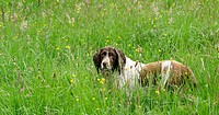 Springer Spaniel in a meadow
