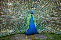 Peacock displaying tail