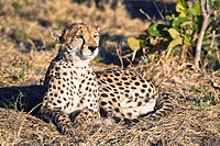Single cheetah (Acinonyx jubatus), Botswana, Africa