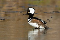 Hooded Merganser Lophodytes cucullatus standing on a frozen pond in Victoria, BC, Canada.