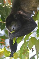 Howler Monkey, genus Alouatta, eating leaves in a tree in the rainforest of Costa Rica.