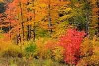 Temperate deciduous forest trees in peak autumn colour, Algonquin Provincial Park, Ontario, Canada