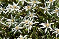 stelle alpine, leontopodim alpinum