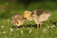 Bar_headed Goose _ two goslings on meadow