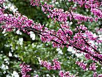 USA, Washington DC, Close up of blooming tree