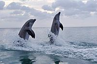 Latin America, Honduras, Bay Islands Department, Roatan, Caribbean Sea, View of bottlenose dolphins jumping in seawater at dusk
