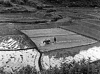 BURMA: RICE PADDY, 1951. /nA farmer ploughing a rice paddy with a water buffalo in the Southern Shan States in Burma. Photograph, July 1951.