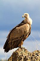 Griffon Vulture in host