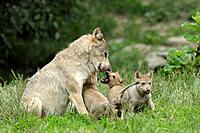 Timber wolves, Adult with cubs, Canis lupus