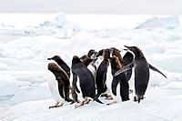 First year Adélie penguin Pygoscelis adeliae chicks at breeding colony at Brown Bluff on the eastern side of the Antarctic Peninsula, Antarctica  MORE...