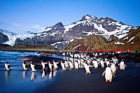 Gentoo penguins Pygoscelis papua returning to the sea to feed at Gold Harbor on South Georgia, Southern Ocean  MORE INFO The gentoo penguin is the thi...