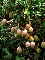 Mangoes ripening on tree (Mangifera indica)