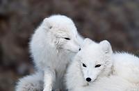Arctic Fox (Alopex lagopus), Yukon Wildlife Preserve, Canada, USA