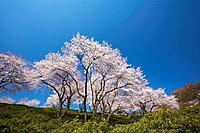 Cherry blossoms at Nishiyama Park, Fukui Prefecture, Hosnhu, Japan