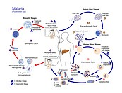Malaria life cycle. Diagram showing the life cycle of the Plasmodium sp. parasite that causes malaria. It is transmitted to humans via the bite of an ...