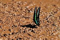 Common Bluebottle Graphium sarpedon drinking water