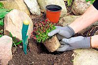 planting a saxifraga bryoides