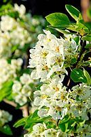 flowering of pear tree