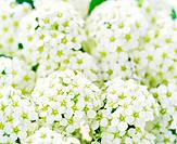 Bunches of white blossoms