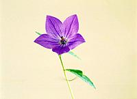 Chinese bellflowers