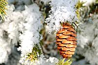 Frost Covered Spruce Tree Branches with a Single Pine Cone