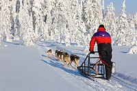 Slegde dog touring in Isosyote Finland