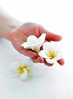 Close_up of hand holding plumeria flowers