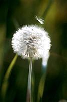 Dandelion with seed, Kawasaki, Kanagawa Prefecture, Japan