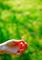 Hand holding dandelion puff