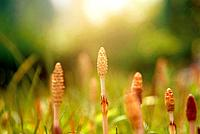 Horsetails, close up