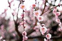 Close_up of pink plum blossom flowers