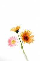 Gerbera daisies, white background