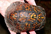 Box Turtle Terrapene carolina Carapace